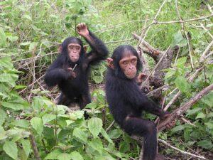 Young chimpanzees from Jane Goodall sanctuary of Tchimpounga (Congo Brazzaville)