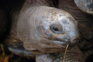 Great tortoise, Seychelles