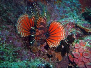 Firefish, Seychelles